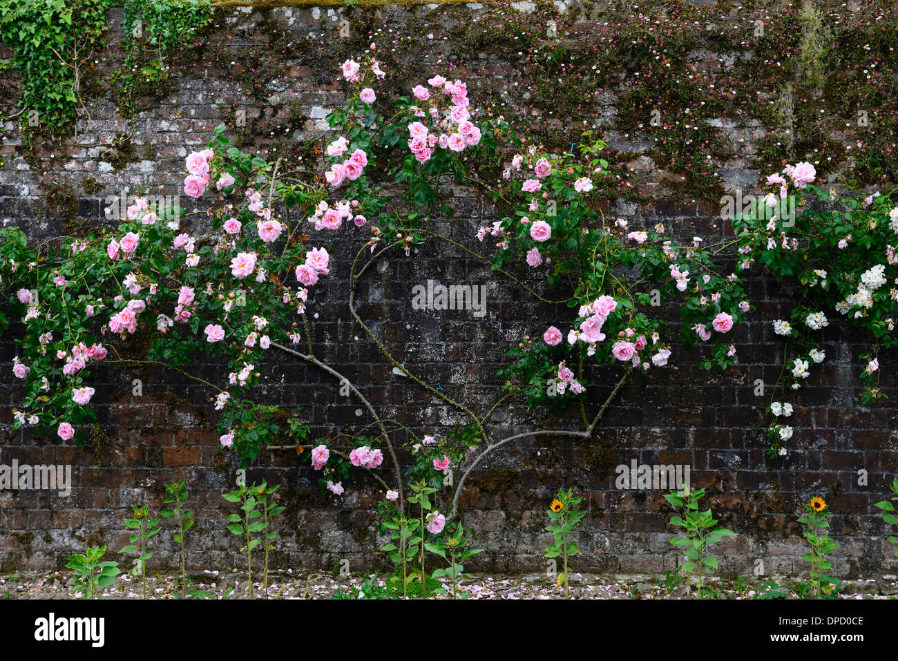 Pink Climbing Roses On Walls Stock Photos Pink Climbing Roses On