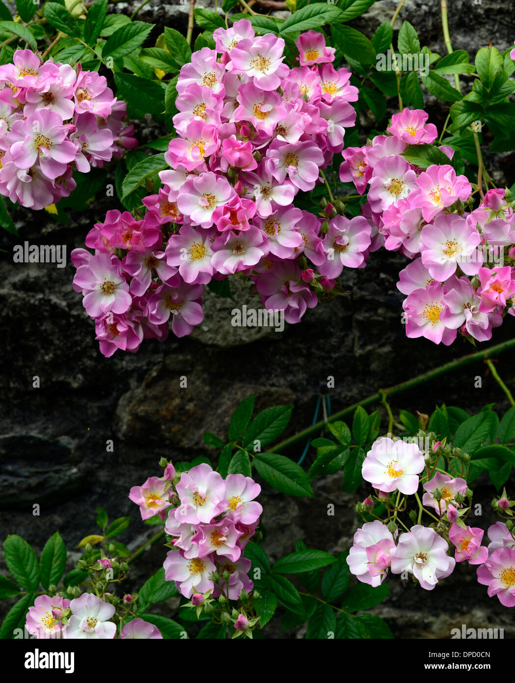 Pink Flowers Climbers Stock Photos Pink Flowers Climbers Stock