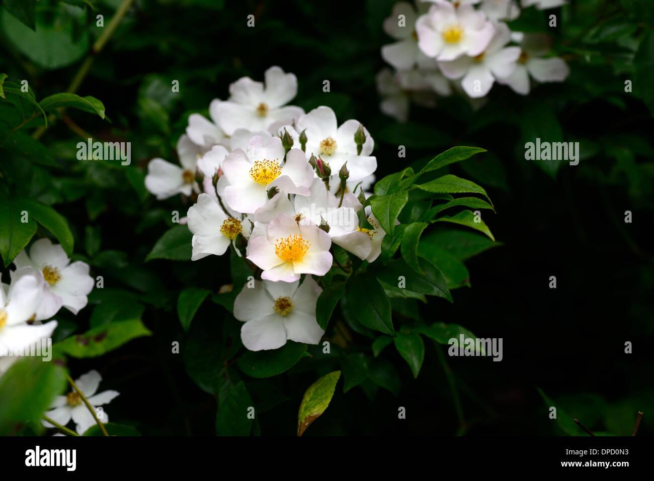 rosa wedding day white rose rambler rambling climbers climbing flowering flowers roses walls growing on stone wall - Stock Image