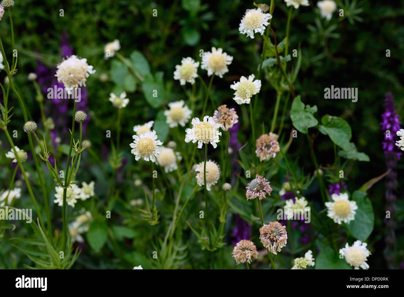 Scabiosa Ochroleuca Pincushion Flower Scabiosa Summer Flower Stock