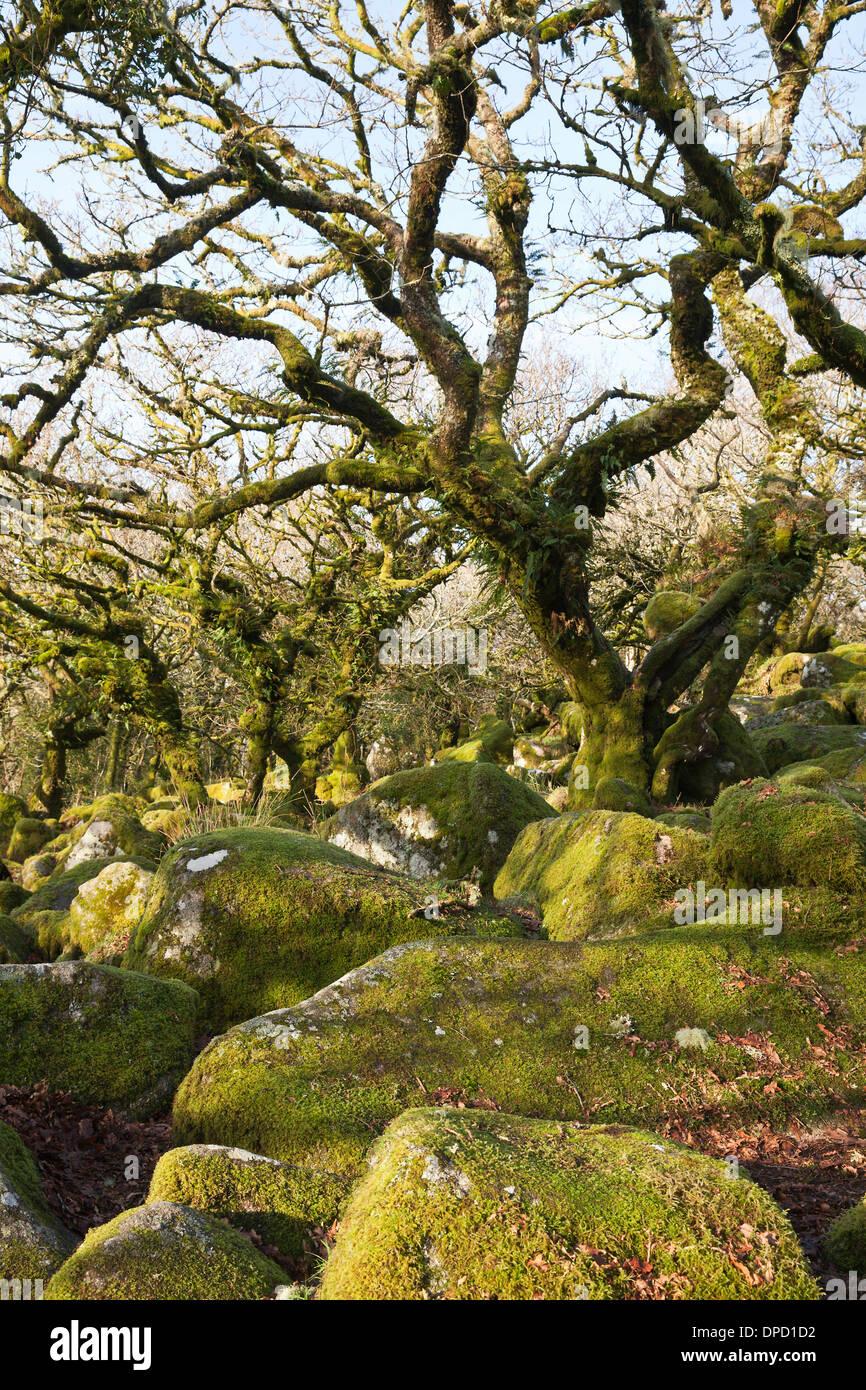 Wistman's Wood, an ancient oak woodland on Dartmoor, Devon, UK. Quercus robur - Pedunculate Oak or English Oak trees - Stock Image