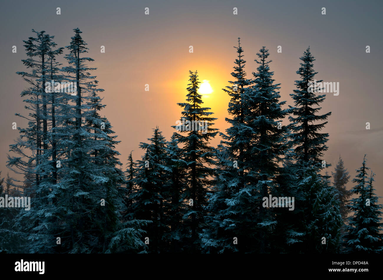 Beautiful winter sunset through the fog and pine trees.  Taken from Grouse Mountain in Vancouver, Canada. - Stock Image
