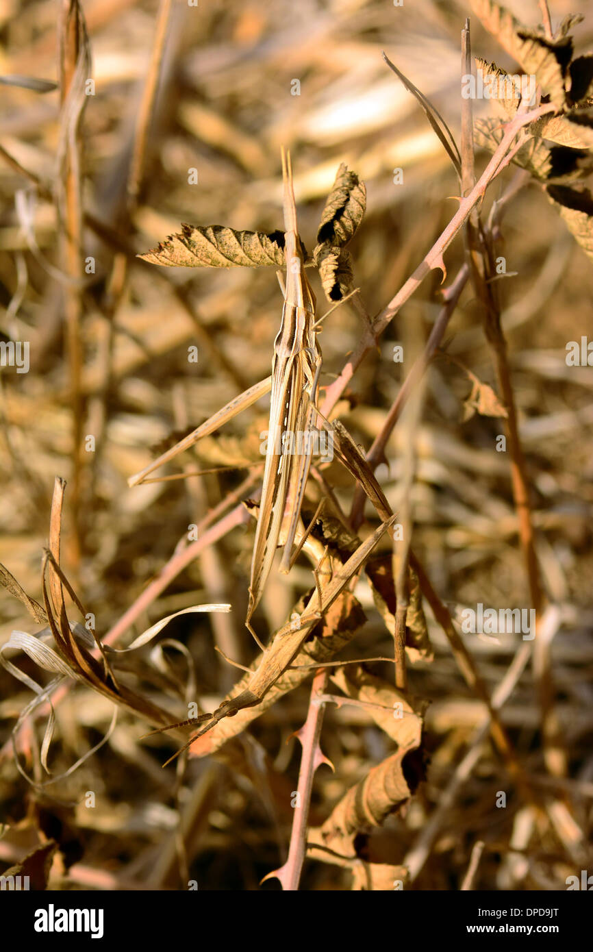 Grasshopper camouflaged on dry vegetation - Stock Image