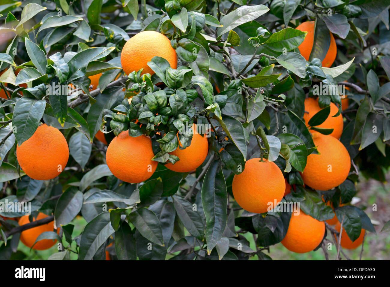 Oranges on Orange Tree - Stock Image