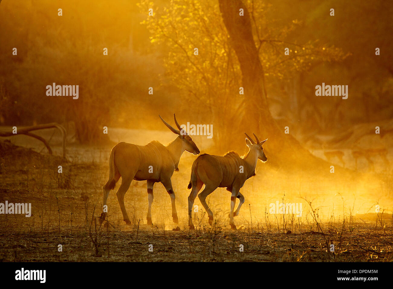 Eland running at dawn, Mana Pools national park, Zimbabwe, Africa - Stock Image
