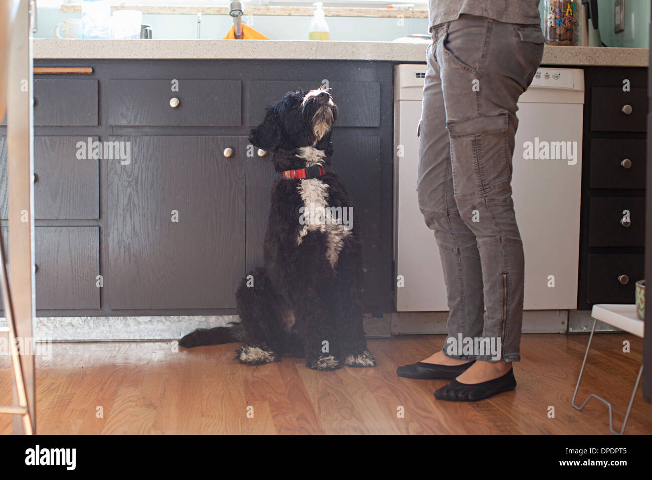 Pet dog looking up at owner in kitchen - Stock Image