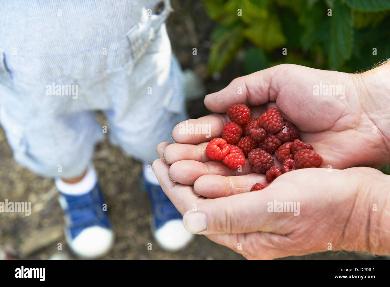 Grandfather sharing raspberries with grandson - Stock Image