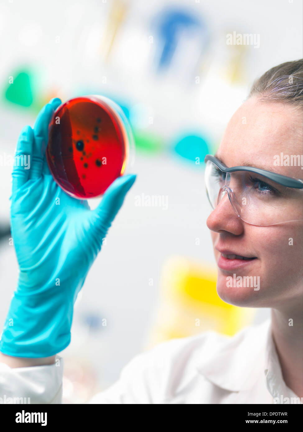 Scientist viewing cell cultures growing in petri dishes in lab - Stock Image