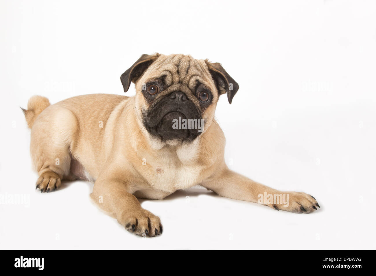 Young pug Stock Photo