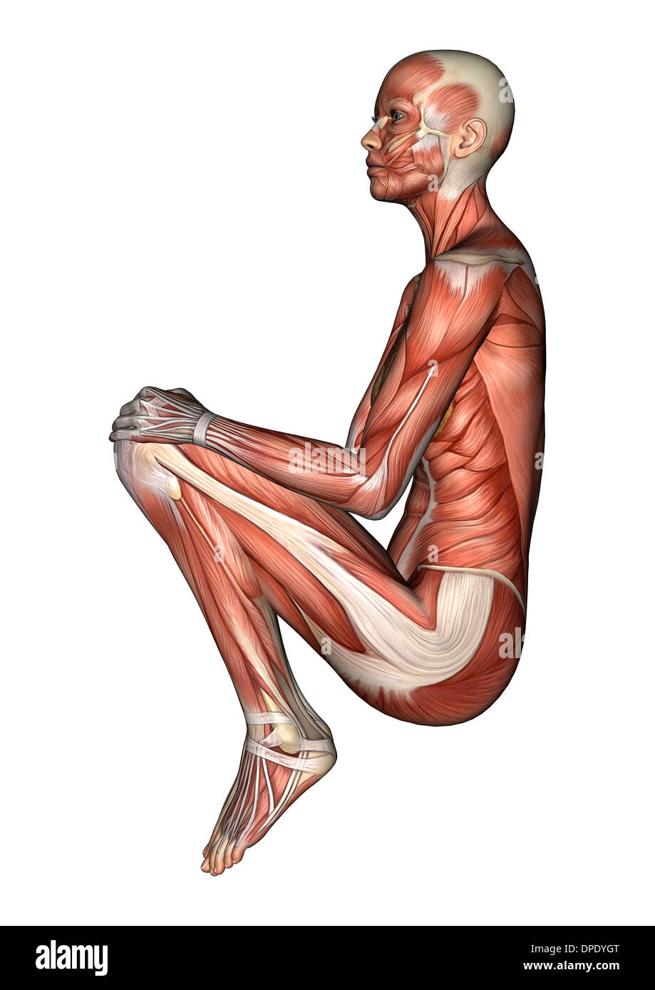 3D digital render of a sitting female anatomy figure with muscles ...
