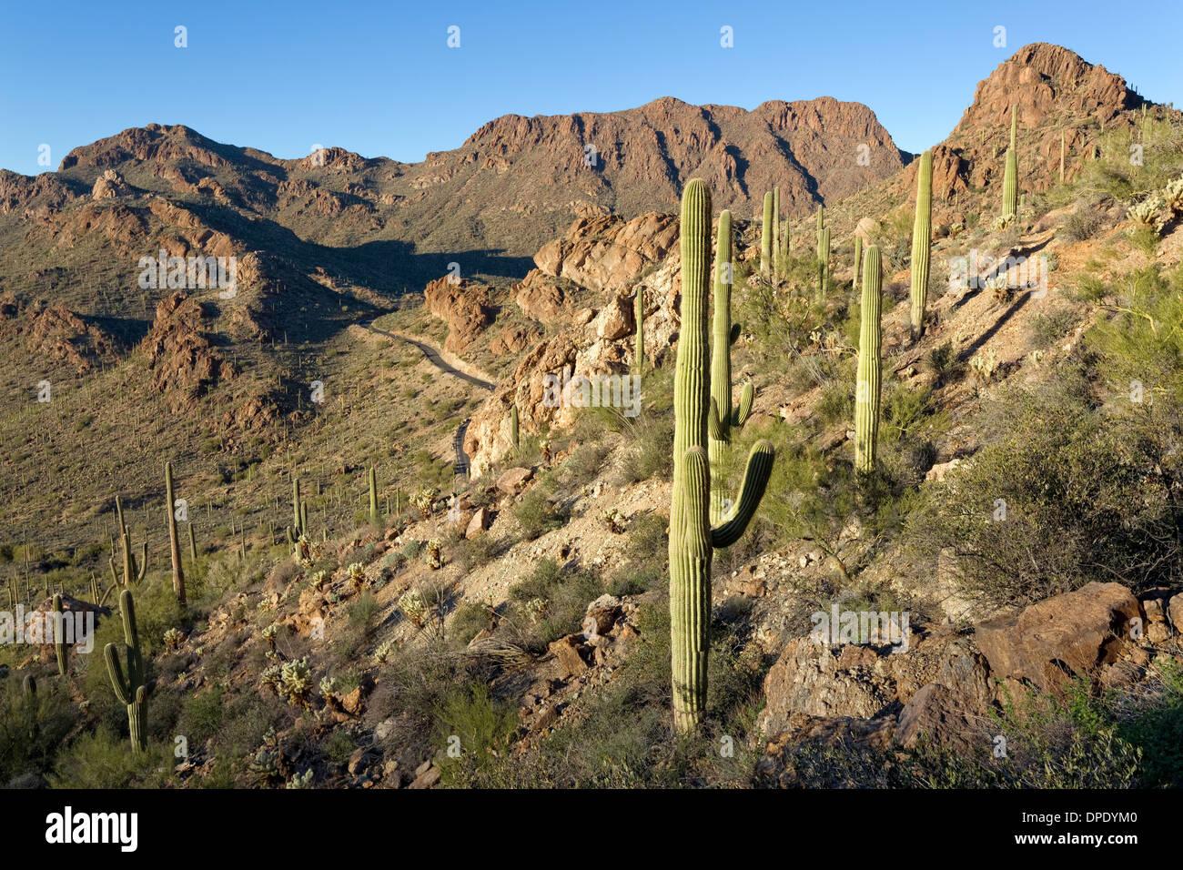 View of Gates Pass Road and Saguaro cactus, Tucson Mountain Park, Tucson, Arizona - Stock Image