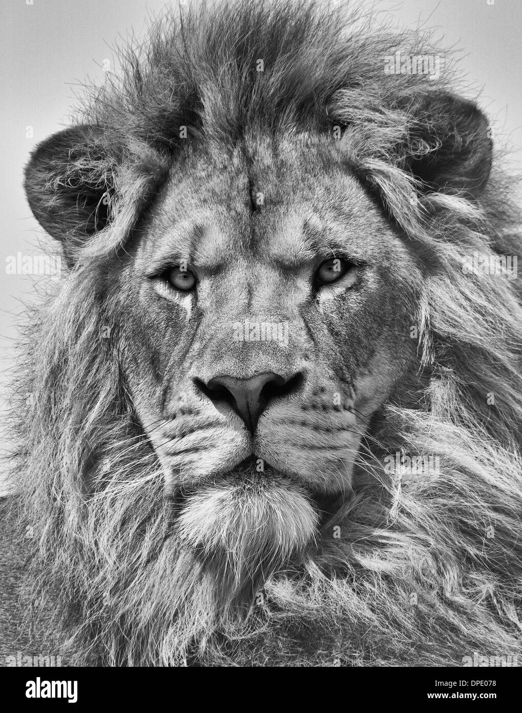 Portrait of male lion in black and white stock image