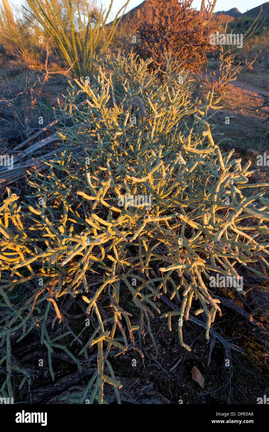 Pencil Cholla (Cylindropuntia ramosissima), Saguaro National Park West, Tucson, Arizona - Stock Image