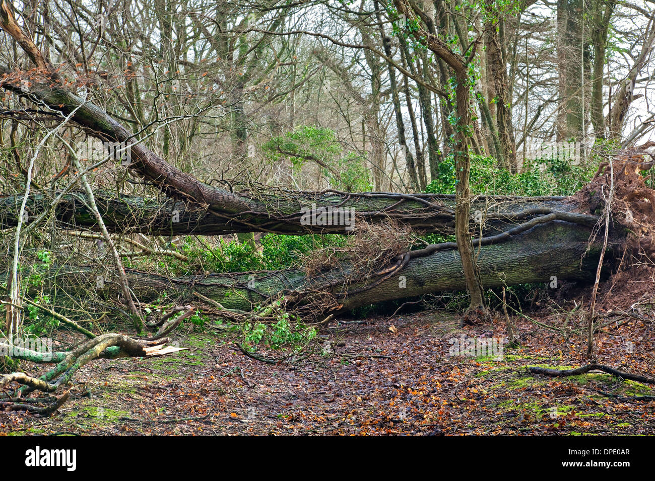 A fallen tree blown over by the wind in woodland blocking a path - Stock Image