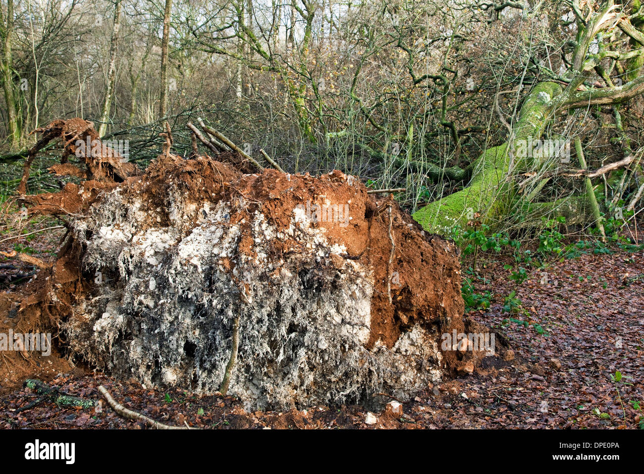 A fallen tree blown over by the wind in woodland - Stock Image