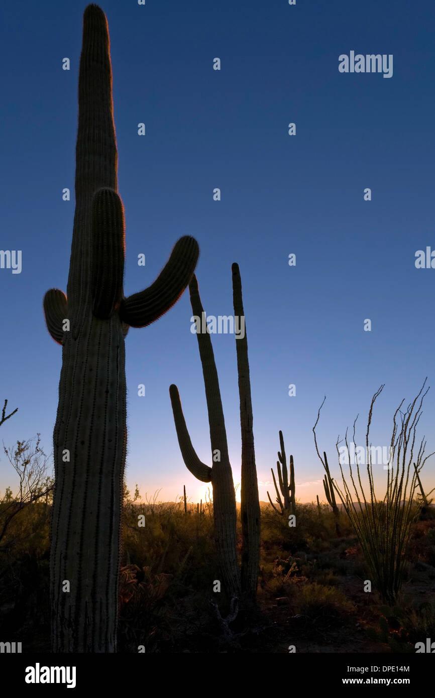 Saguaro National Park, West, Tucson Arizona - Stock Image