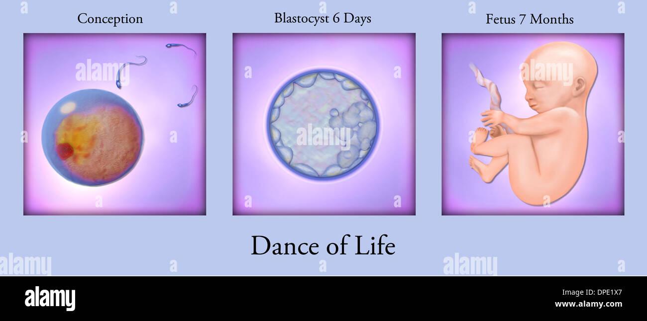 Conception to fetal development - Stock Image