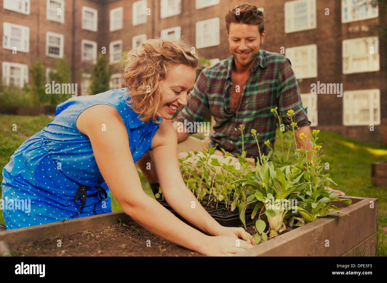 Couple planting raised bed on council estate allotment - Stock Image