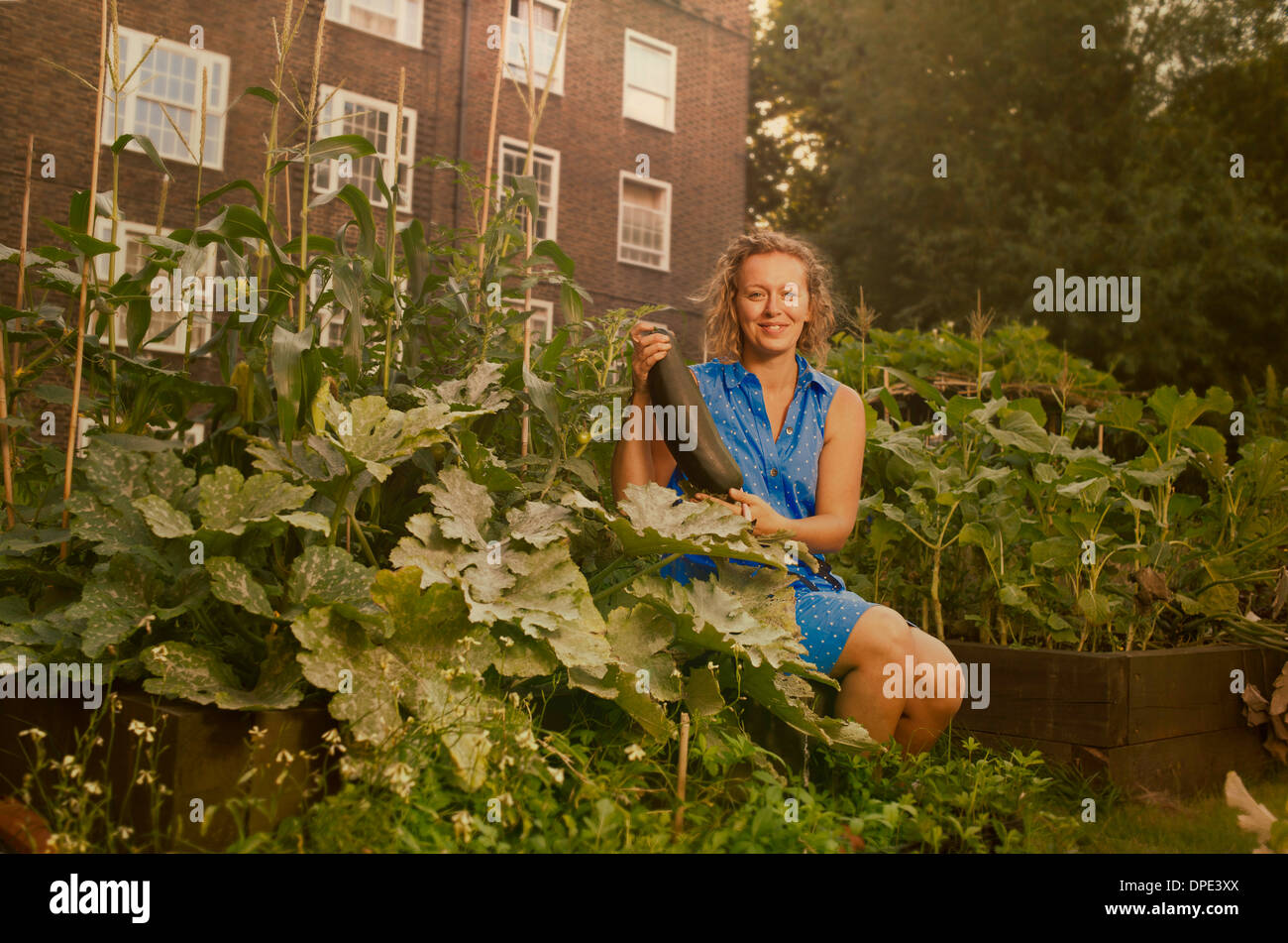 Young woman harvesting marrows on council estate allotment - Stock Image