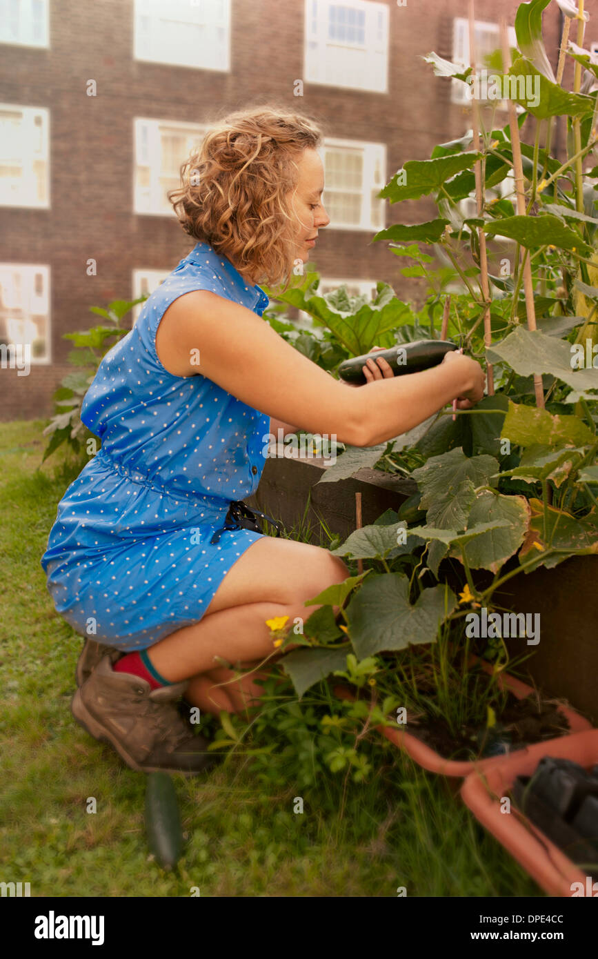 Young woman with harvesting cucumbers on council estate allotment - Stock Image