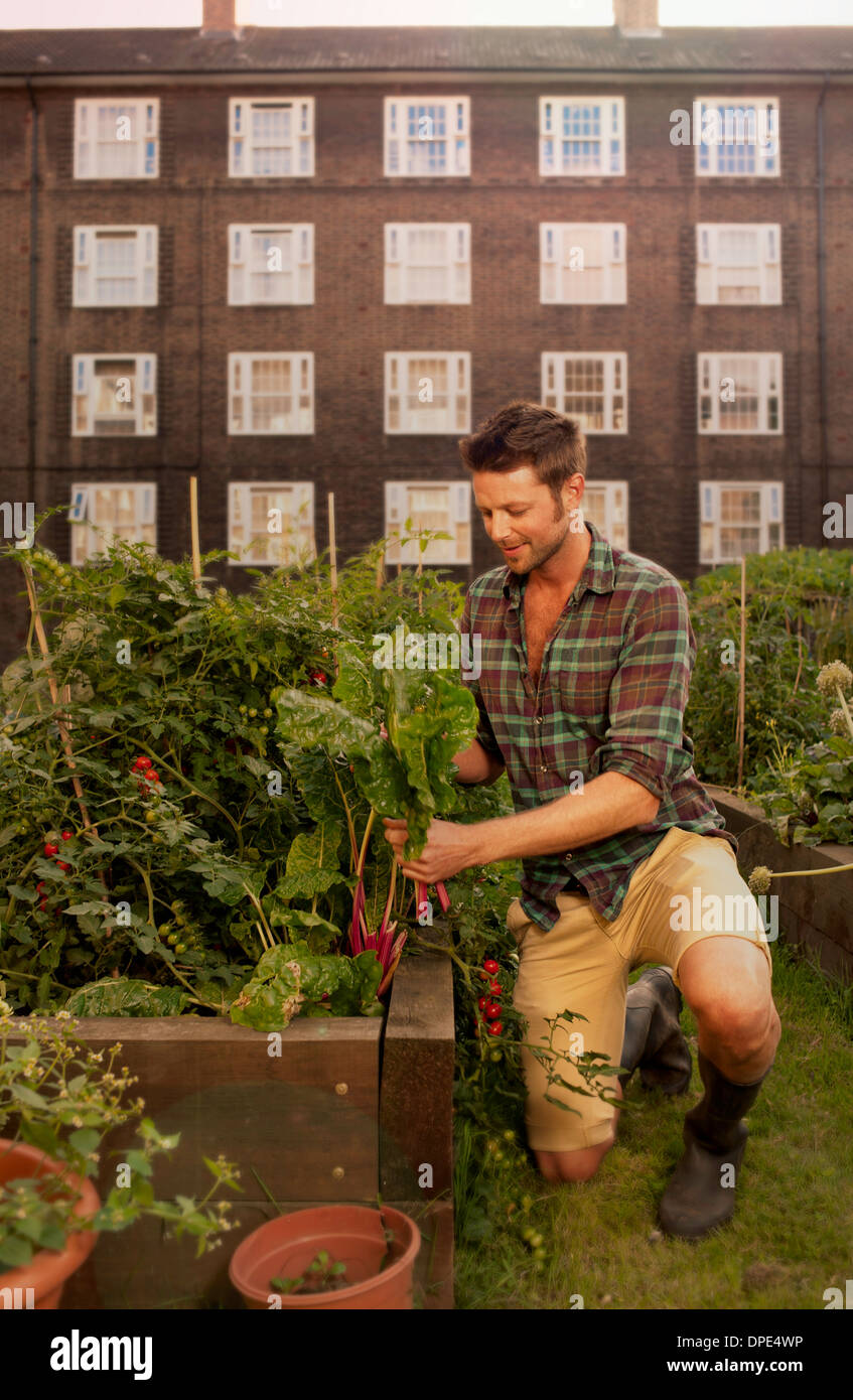 Mid adult man harvesting vegetables on council estate allotment Stock Photo
