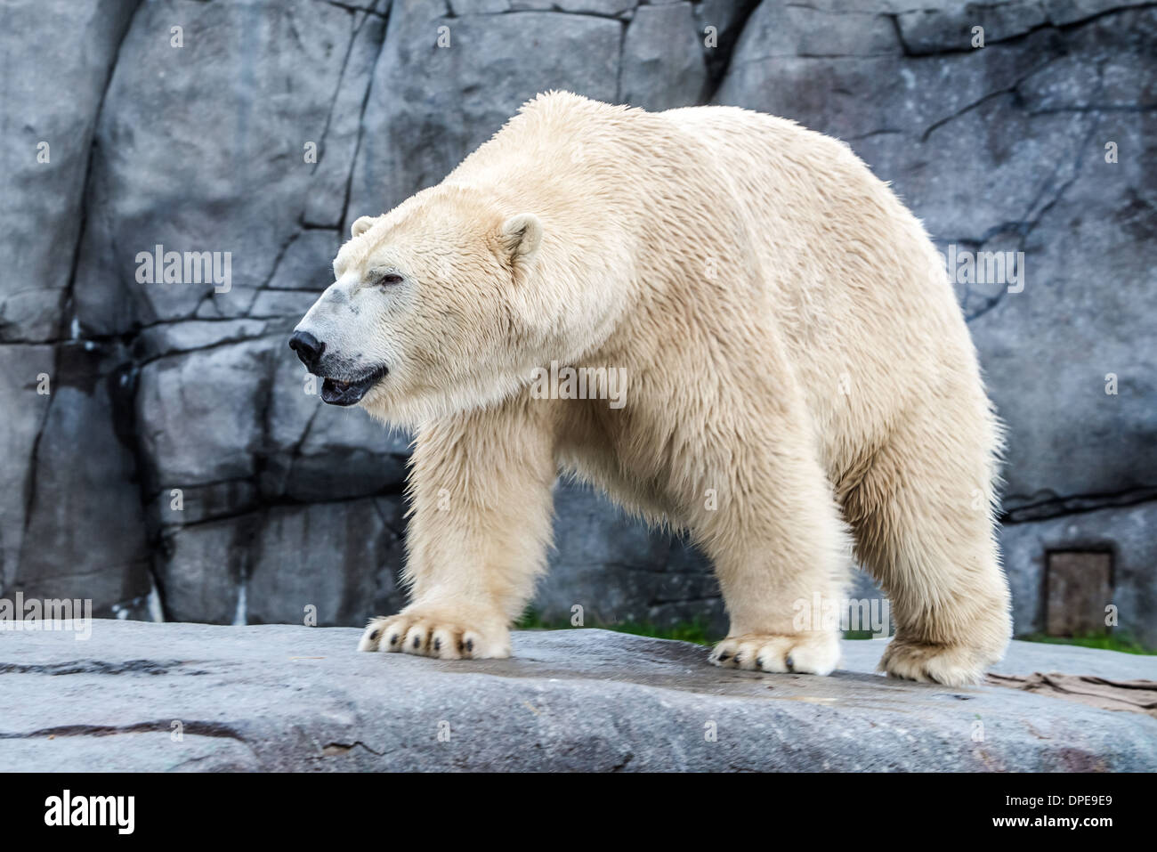fattened white bear with the rocky bacground - Stock Image