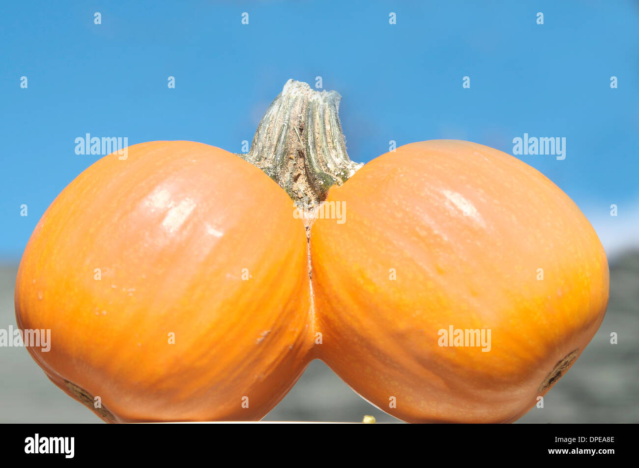 Two pumpkins joined together as one with one stem in bright sunlight with a blue sky in the background. - Stock Image