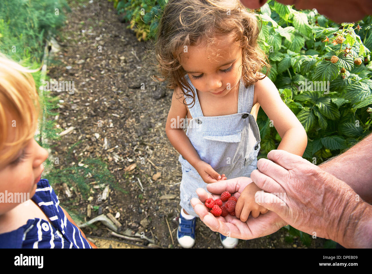 Grandfather sharing raspberries with grandchildren - Stock Image