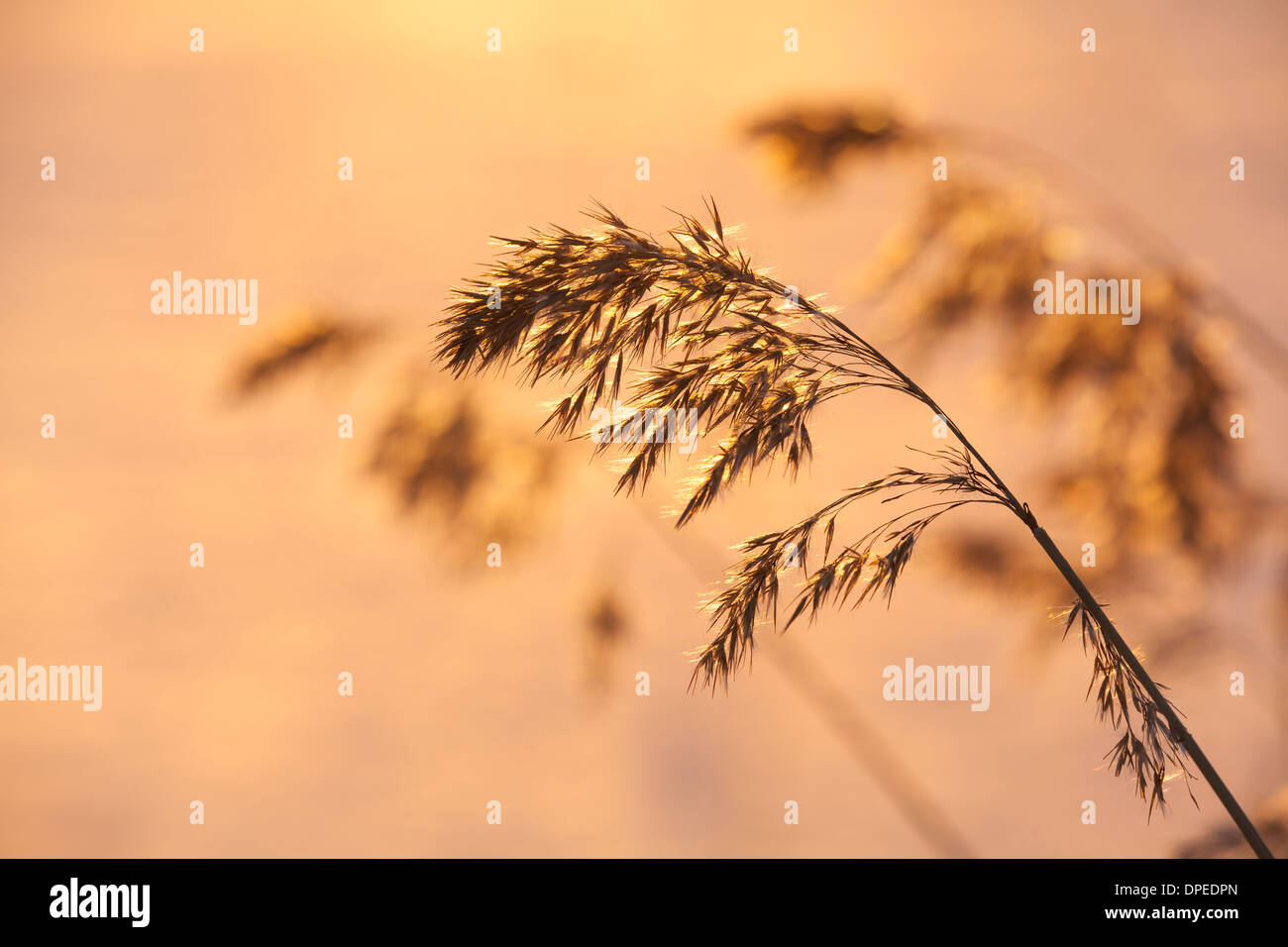 Common reed - Stock Image