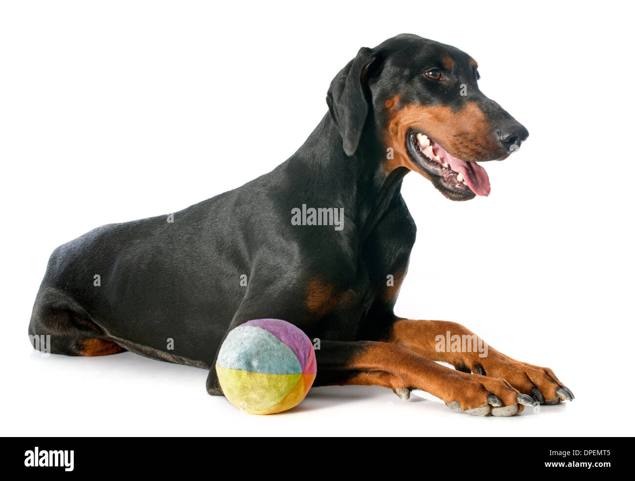 doberman pinscher in front of white background Stock Photo