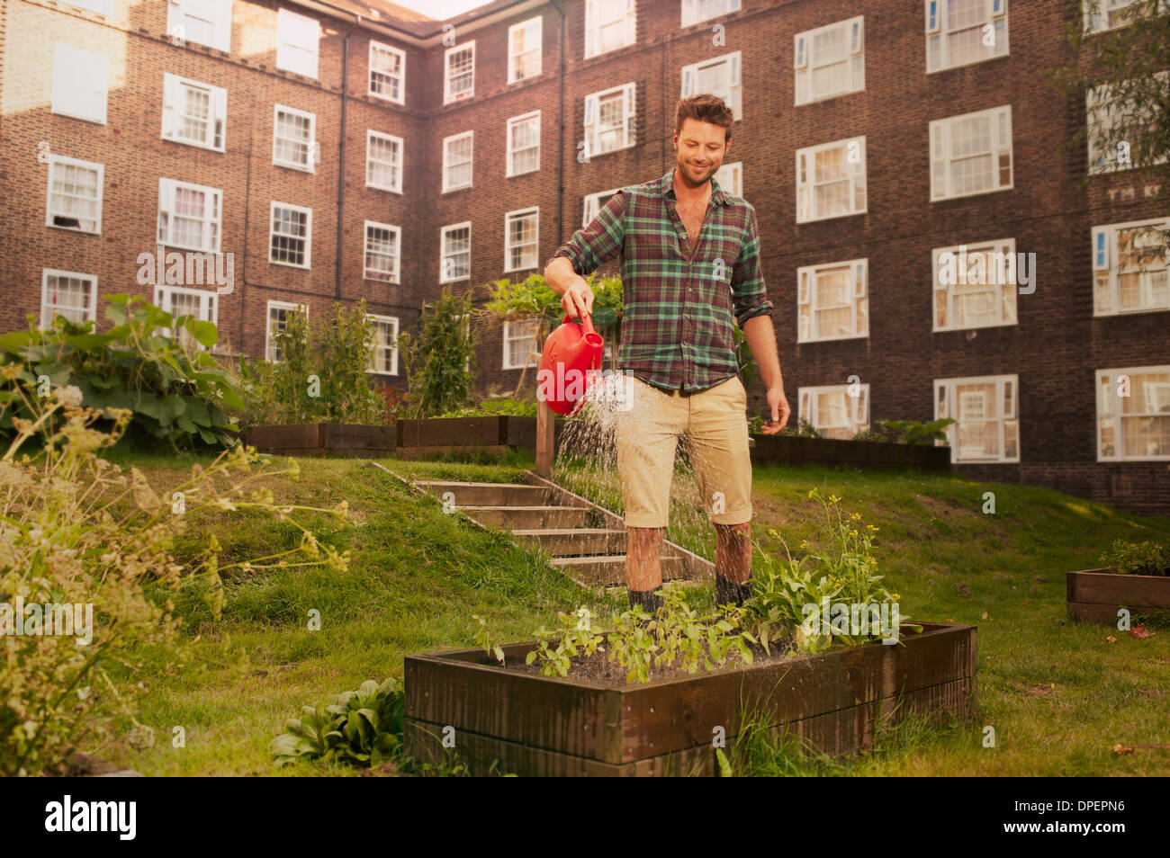 Mid adult man watering raised beds on council estate allotment - Stock Image
