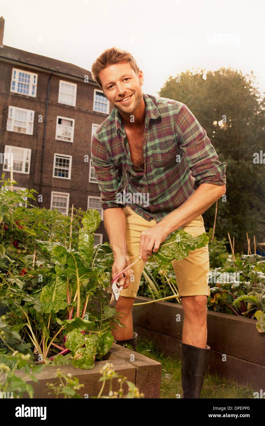 Mid adult man harvesting salad leaf on council estate allotment - Stock Image