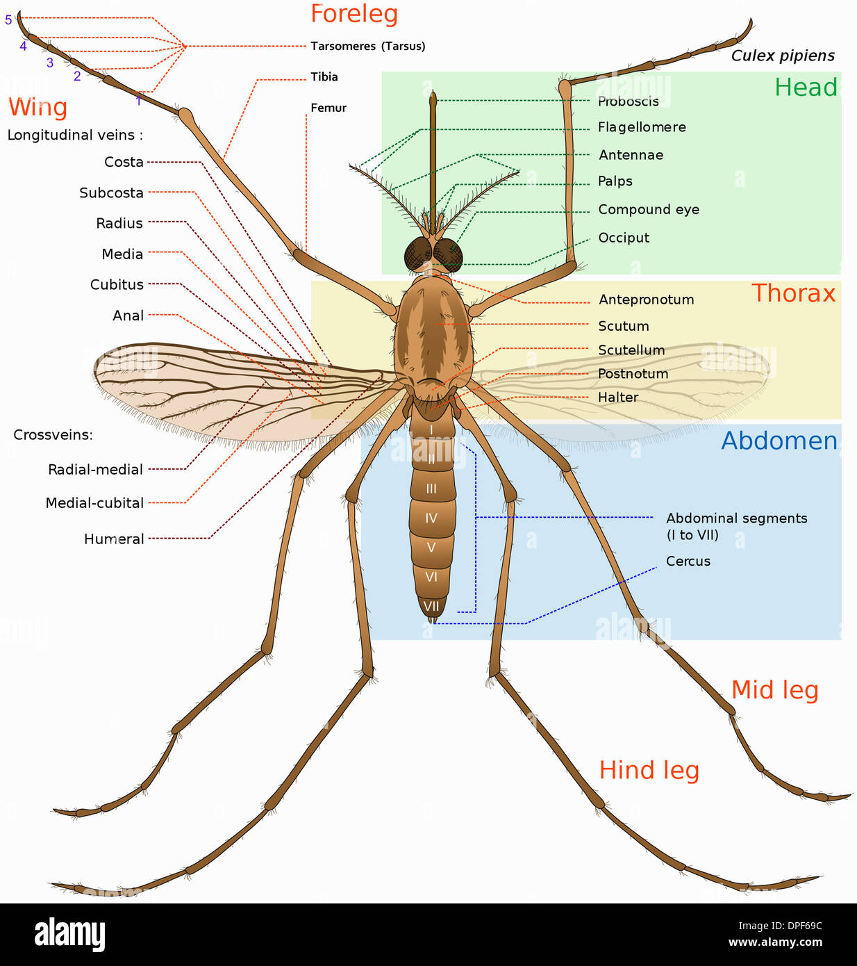 Insects Anatomy Stock Photos & Insects Anatomy Stock Images - Alamy