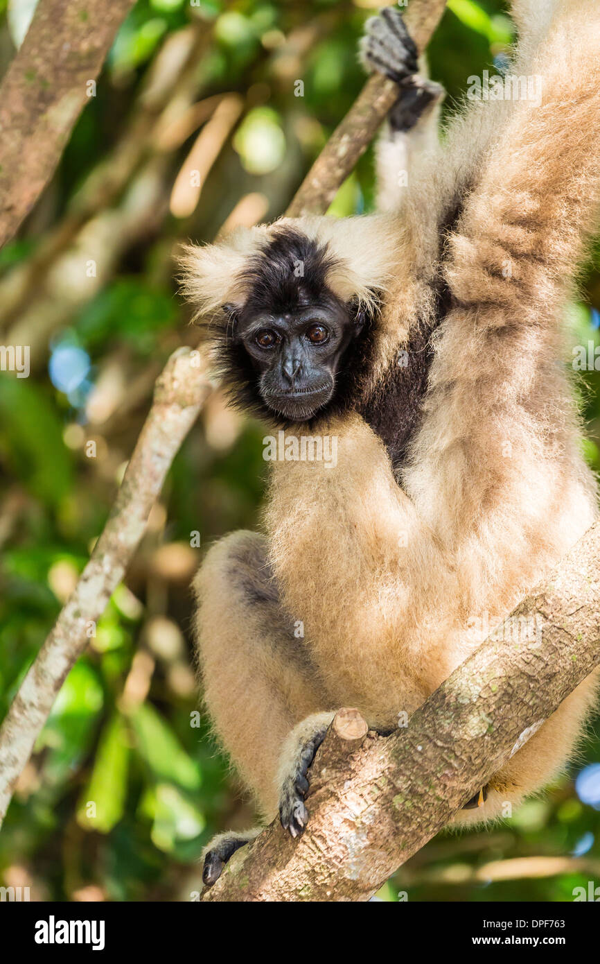 Adult female pileated gibbon (Hylobates pileatus) adopted by monks at Wat Hanchey, Kampong Cham Province, Cambodia Stock Photo