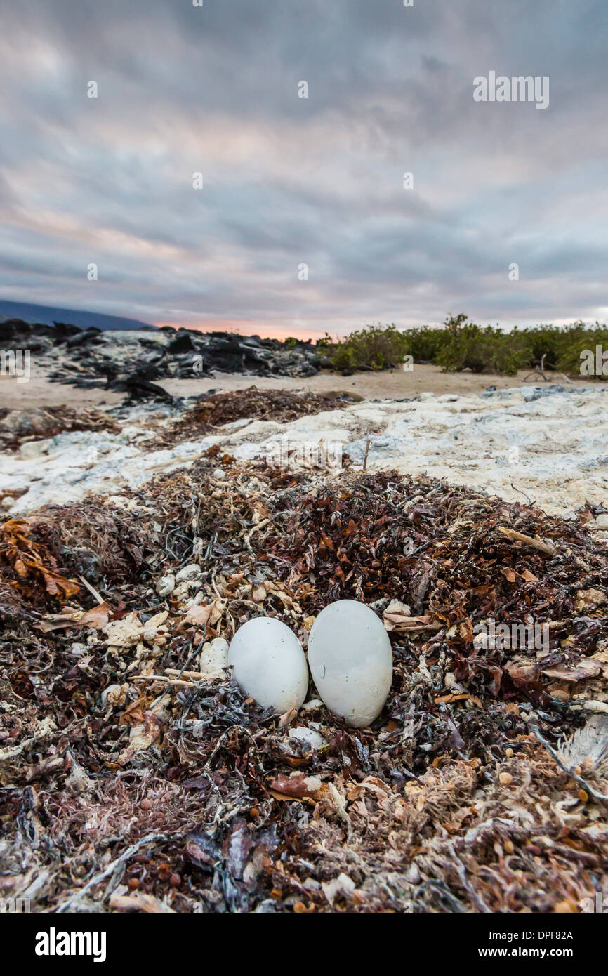 Flightless cormorant nest (Phalacrocorax harrisi), Fernandina Island, Galapagos Islands, UNESCO World Heritage Site, Stock Photo