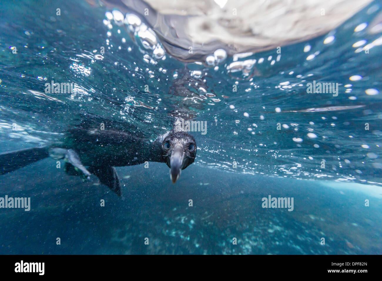 Curious flightless cormorant (Phalacrocorax harrisi) underwater at Tagus Cove, Isabela Island, Galapagos Islands, Ecuador - Stock Image