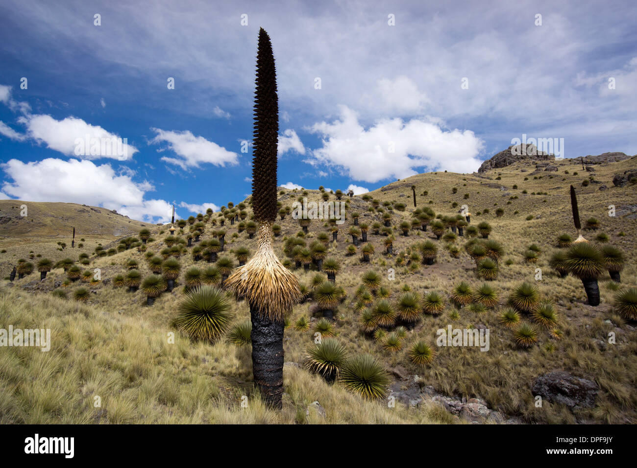 Puya raimondii tree (the Queen of the Andes tree), after seeding, Peru, South America Stock Photo