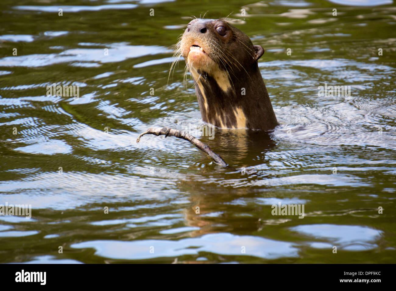 The very rare giant otter, Lake Salvador, Manu National Park, UNESCO World Heritage Site, Peru, South America - Stock Image