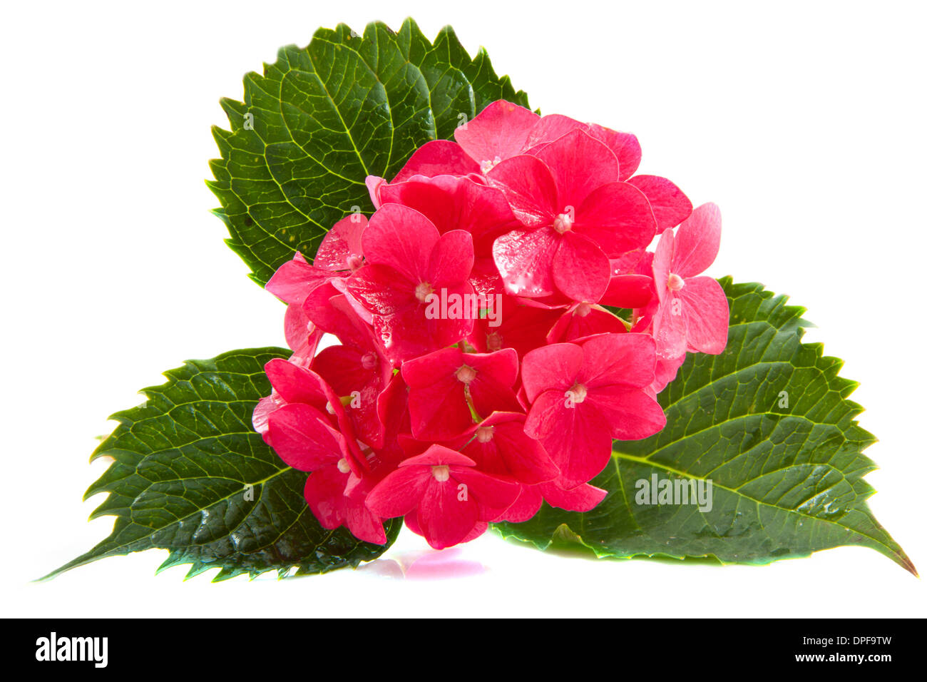 Hydrangea Macrophylla Cut Out Stock Images & Pictures - Alamy