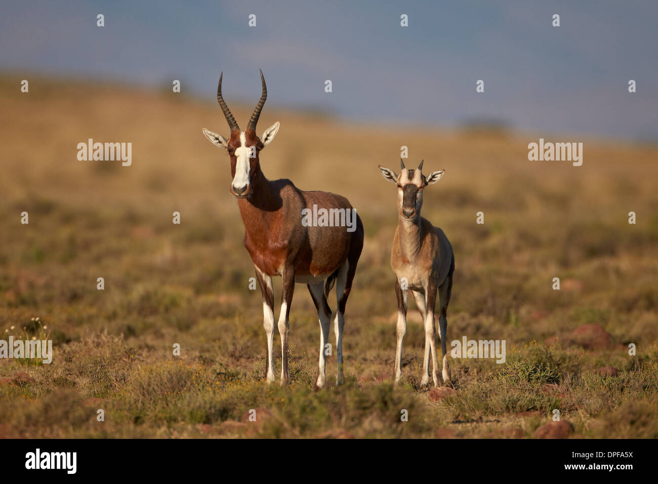 Blesbok (Damaliscus pygargus phillipsi) ewe and lamb, Mountain Zebra National Park, South Africa, Africa - Stock Image