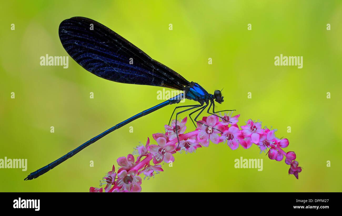 blue jewel wings damselfly - Stock Image