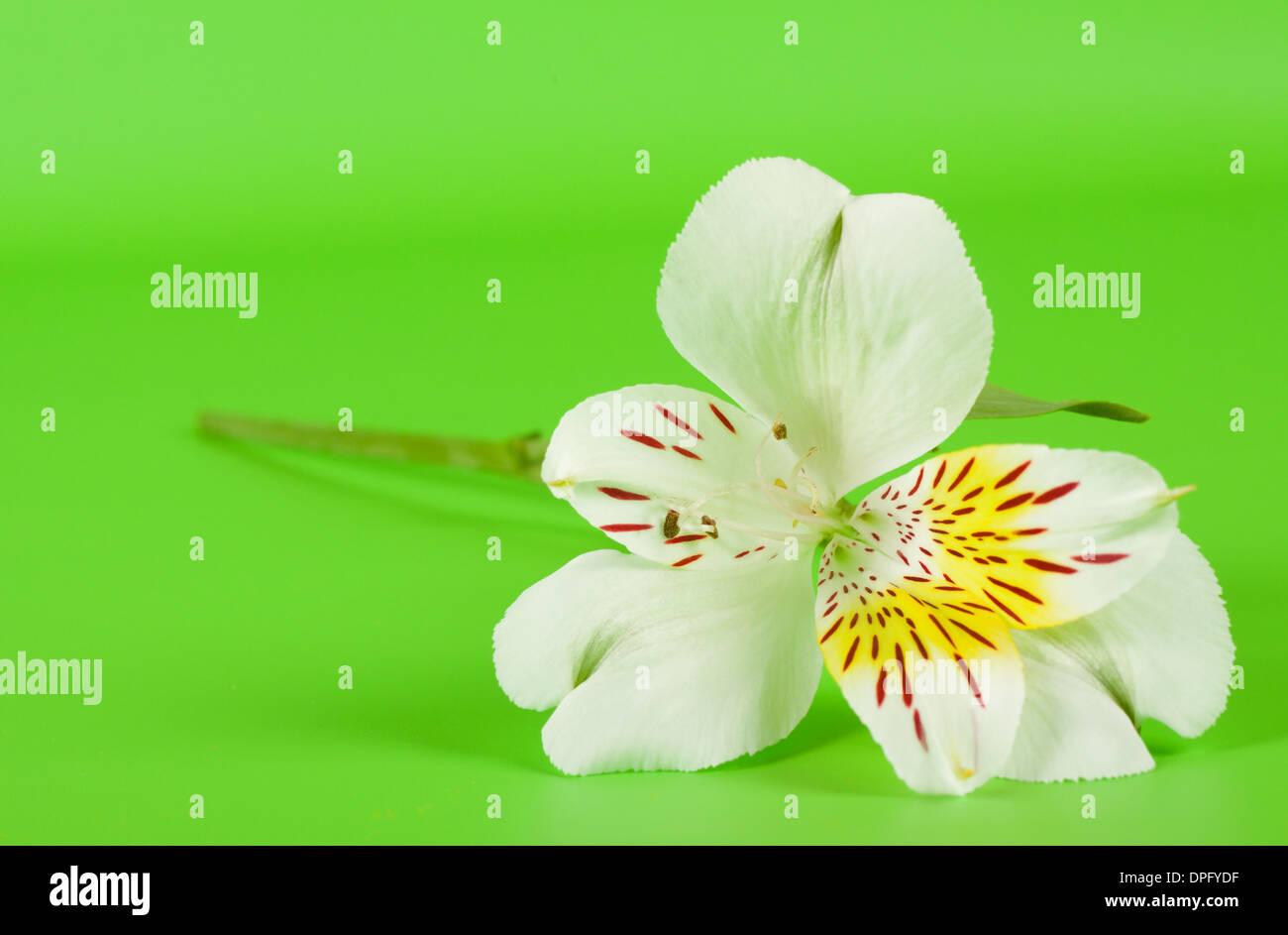 White alstroemeria flower on a stalk with green background stock white alstroemeria flower on a stalk with green background mightylinksfo