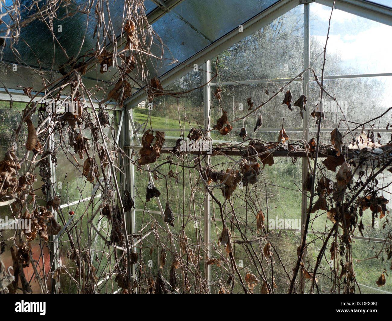 Greenhouse with dead plants in winter garden Carmarthenshire Wales UK KATHY DEWITT - Stock Image