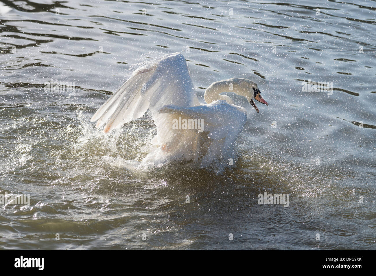 A mute swan washing and flapping its wings on a river. - Stock Image