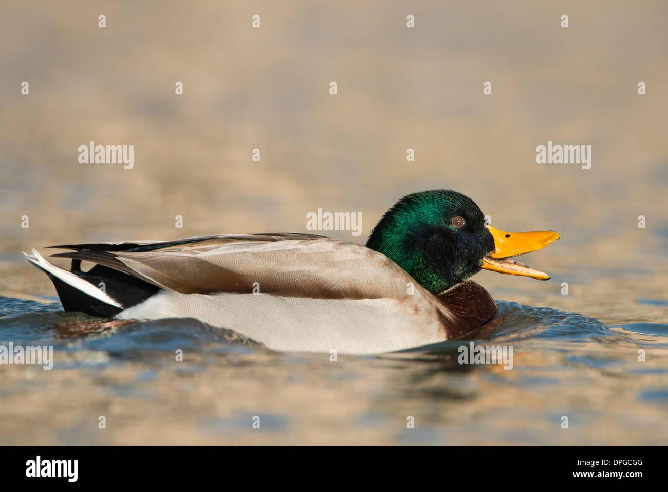 Quacking Mallard Drake (Anas platyrhynchos), North Texas - Stock Image