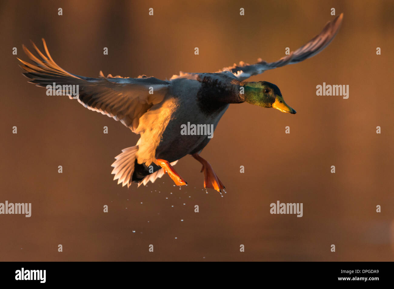 A mallard (Anas platyrhynchos) drake prepares to land on water, North Texas - Stock Image
