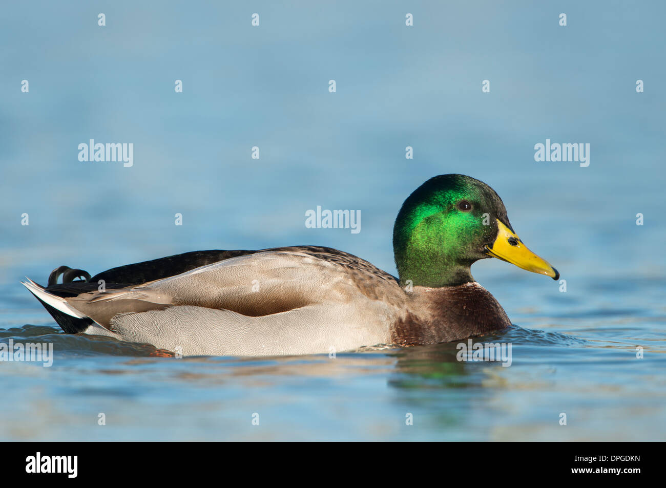 Mallard (Anas platyrhynchos) Drake, North Texas - Stock Image