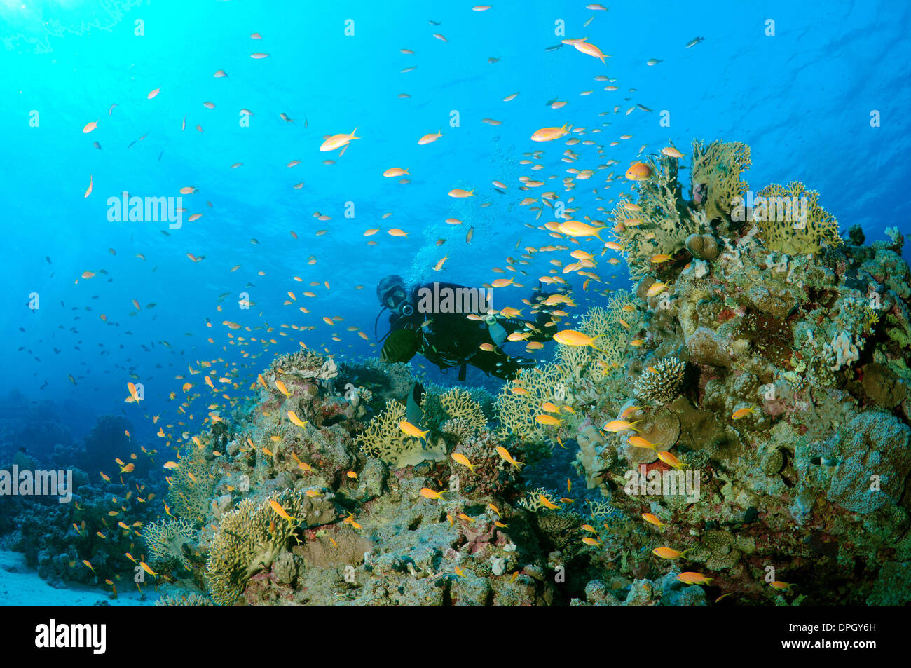 Diver looking at lyretail coralfish, lyretail anthias, sea goldie, or scalefin anthia (Pseudanthias squamipinnis),Red sea, Egypt - Stock Image