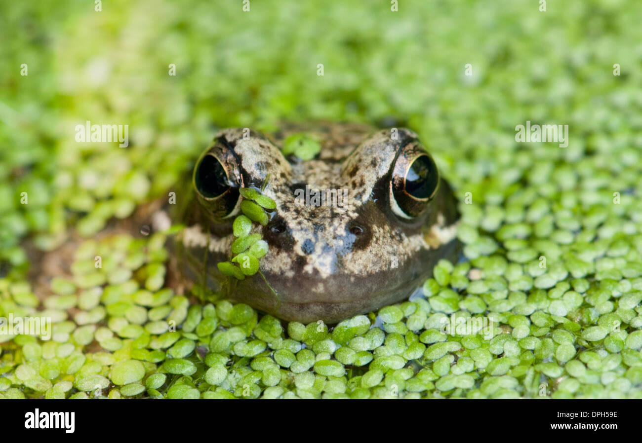 Common frog in a duckweed covered pond. Stock Photo