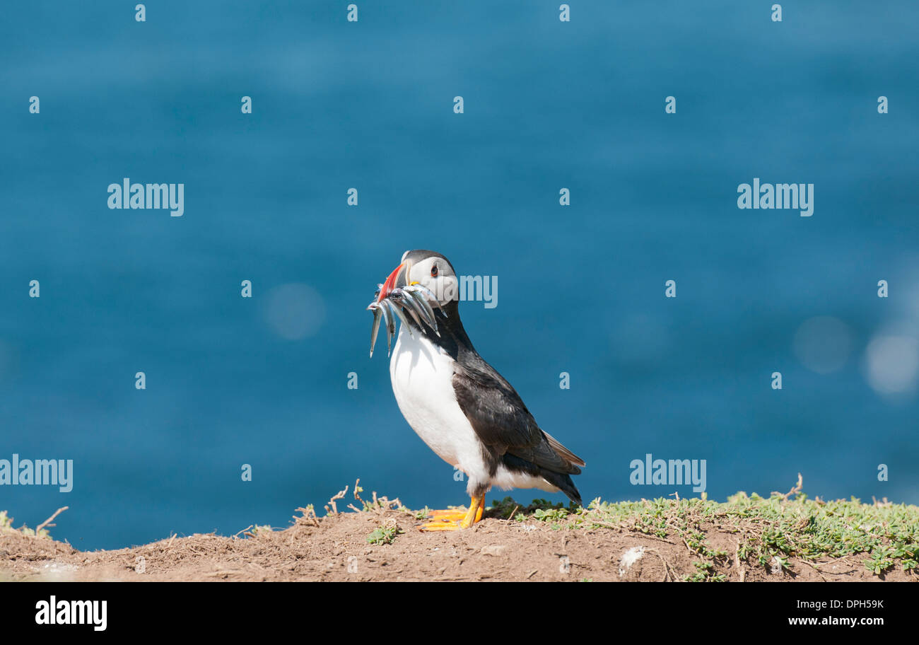 Puffin with sandeels. Stock Photo